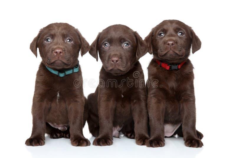 Tre labradorvalpar royaltyfri foto