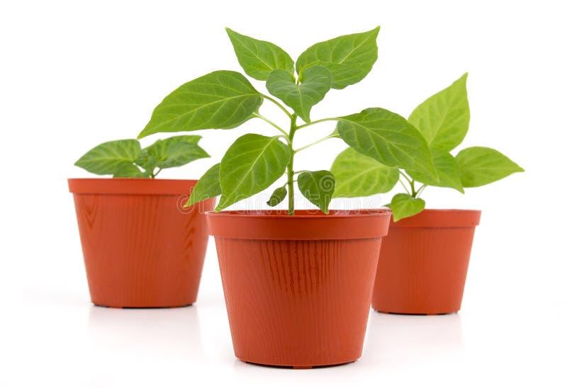 Tre lade in att växa för ung växt för varm peppar fotografering för bildbyråer