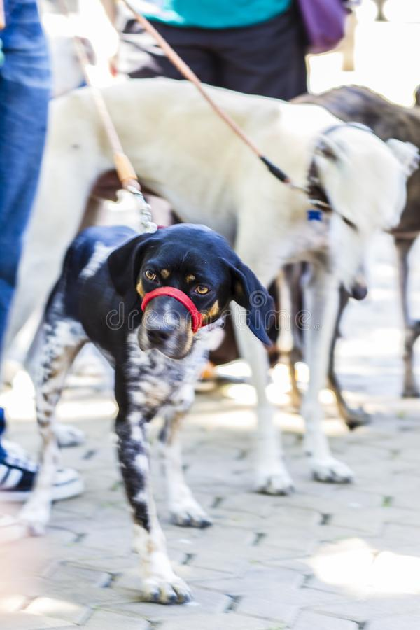 Tre-lagd benen på ryggen hund som binds upp royaltyfria bilder