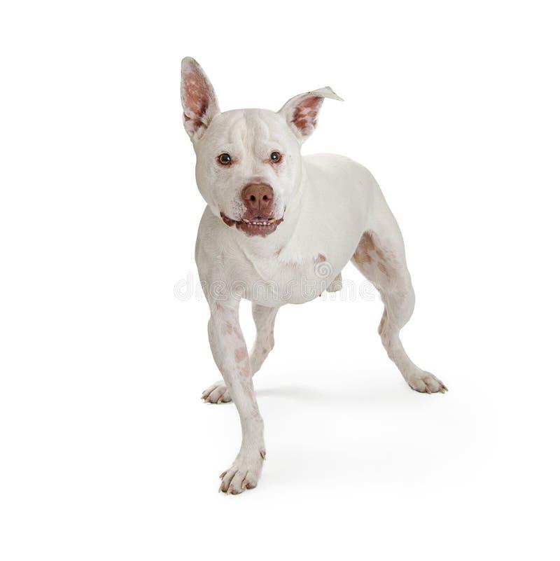 Tre lagd benen på ryggen hund på vit royaltyfri bild