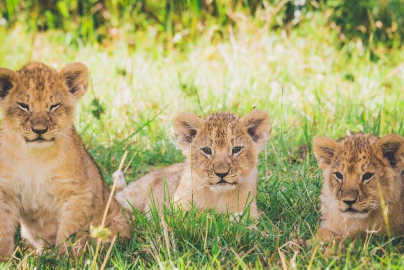 Tre lejongröngölingar kopplar av i gräset i Masai Mara i Afrika arkivbilder