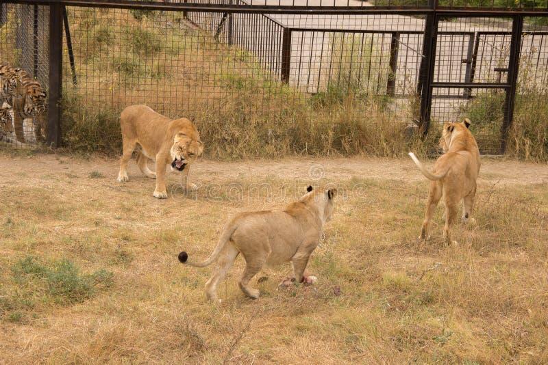 Tre lejoninnor i zoo delade inte ett stycke av kött och qua royaltyfri foto