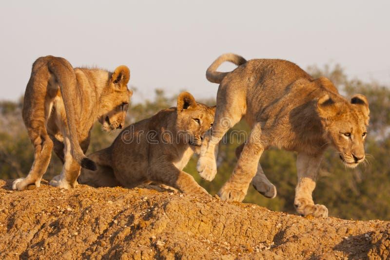 Tre leone Cubs a gioco immagini stock libere da diritti