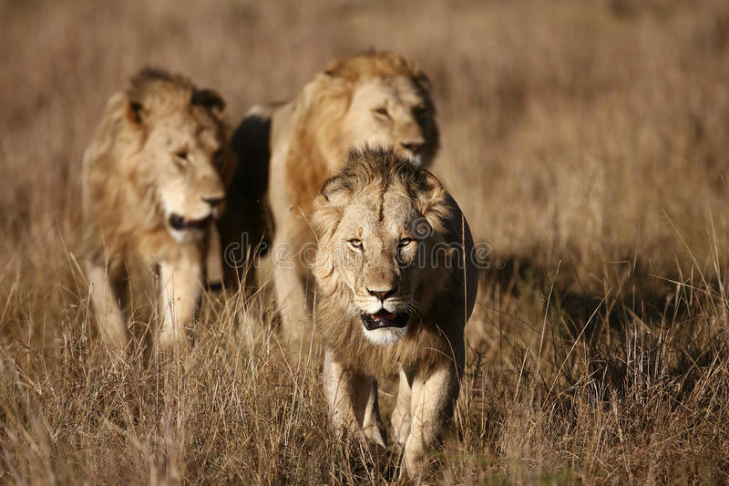 Tre leoni maschii sul Masai Mara fotografie stock