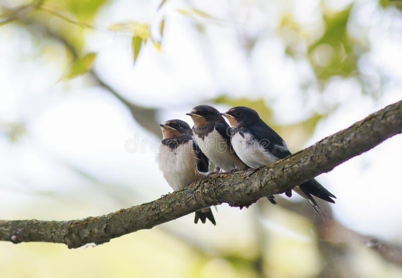 tre lilla roliga fågelungeladugårdsvalor som tillsammans sitter på en filial som väntar på föräldrarna av fåglarna royaltyfri bild