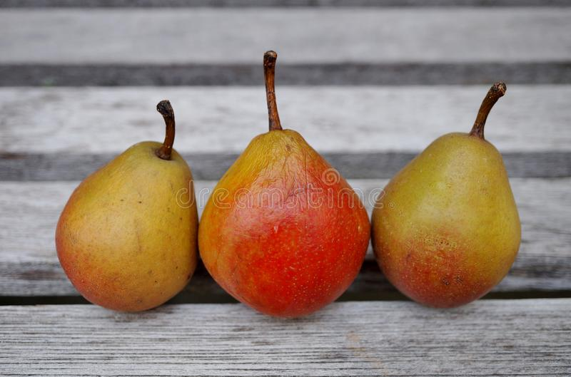 Tre lilla Seckel päron i rad royaltyfria foton