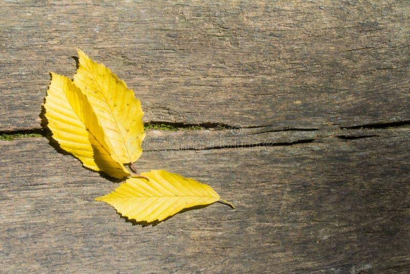 Tre ljusa gula höstsidor på trätextur, nära ` upp lodisar arkivfoto