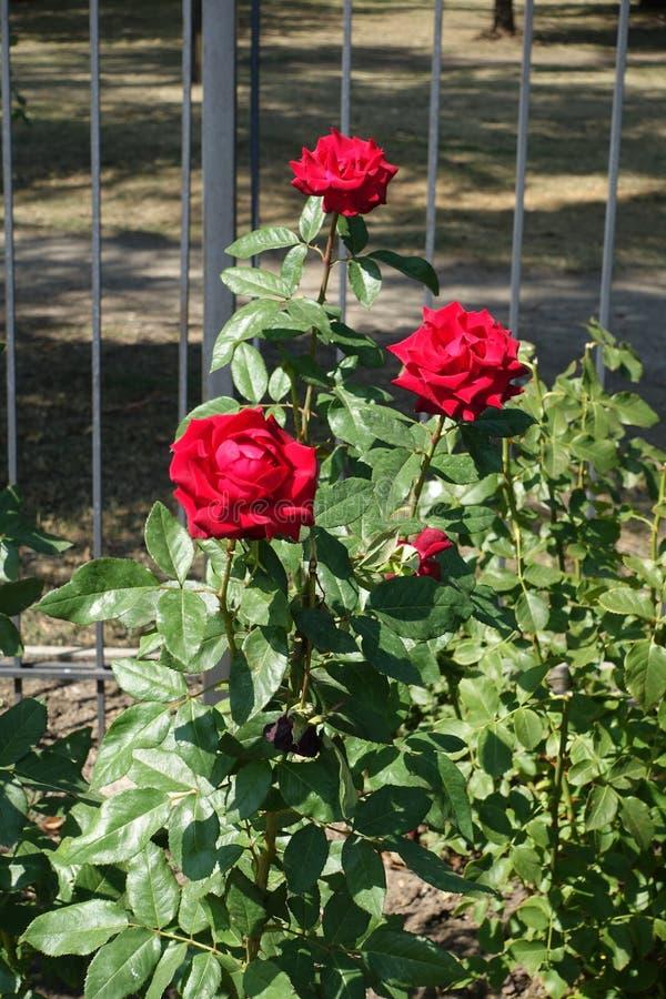 Tre ljusa röda blommor av ros i Augusti royaltyfria foton