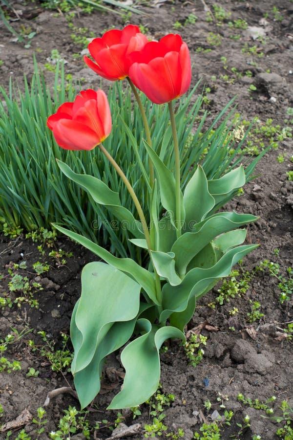 Tre ljusa röda blommor av tulpan royaltyfria foton