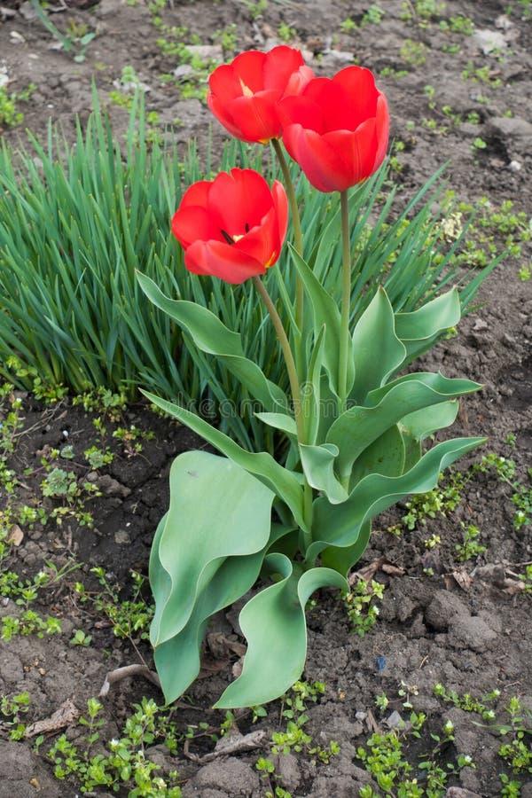 Tre ljusa röda tulpan i blomsterrabatten royaltyfri bild