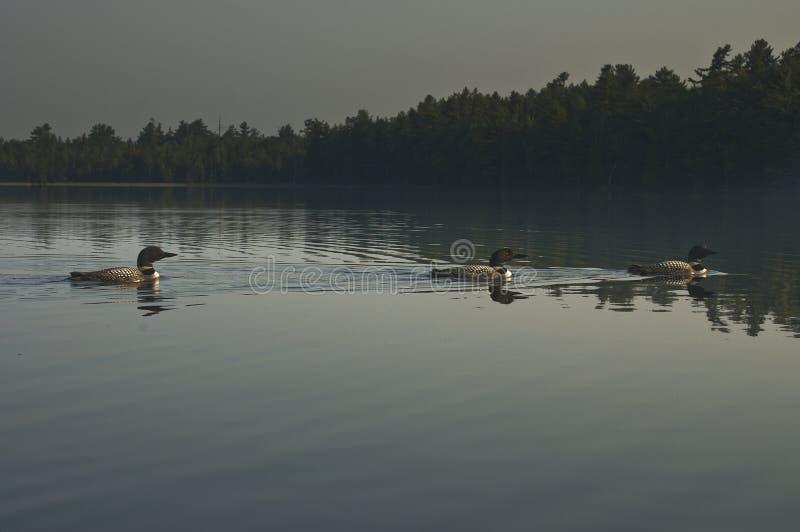 Tre lunatici comuni su un lago woods di Nord fotografie stock