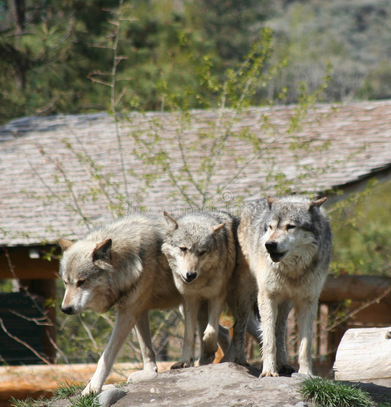 Tre lupi fotografia stock