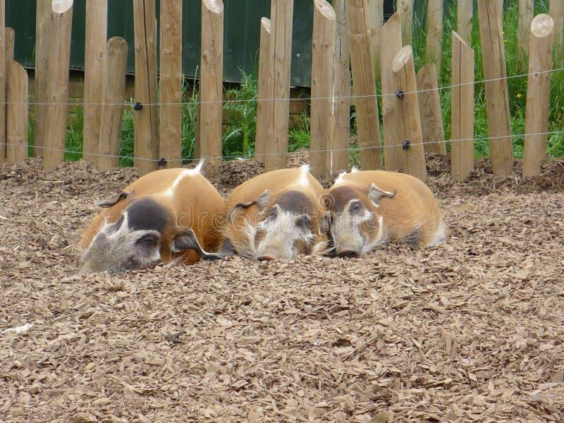 Tre maiali di sonno fotografie stock libere da diritti