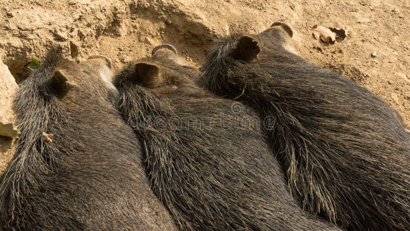 Tre maiali selvaggi che dormono accanto a ogni altro fotografia stock libera da diritti