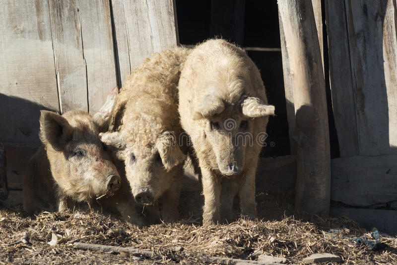 Tre Mangalica en ungersk avel av inhemska svin fotografering för bildbyråer