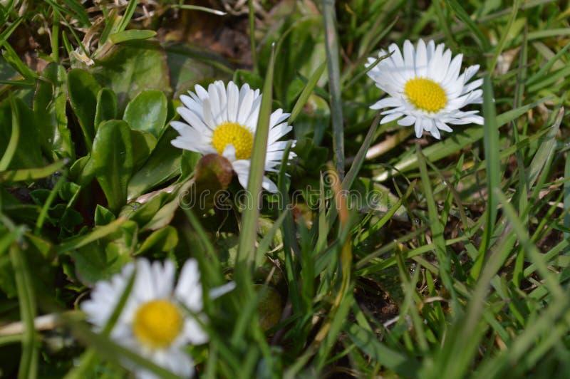 Tre margherite del llittle nell'erba immagine stock