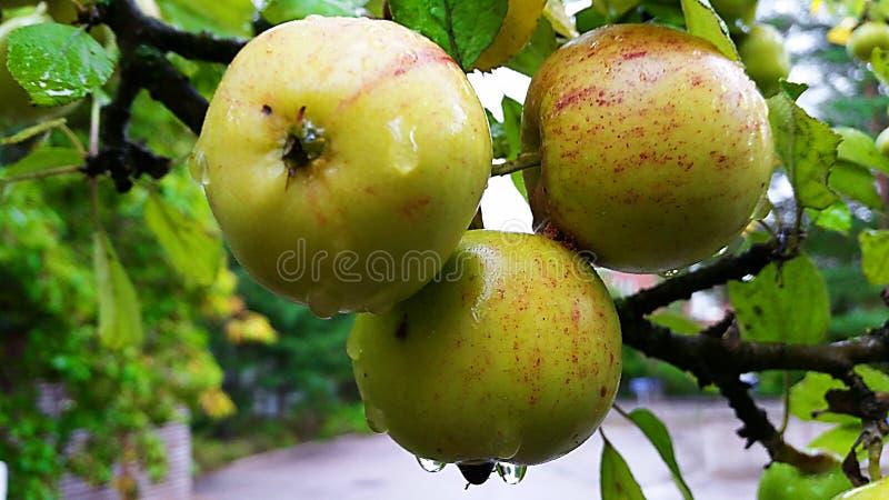 Tre mele fresche pronte per mangiare fotografia stock libera da diritti