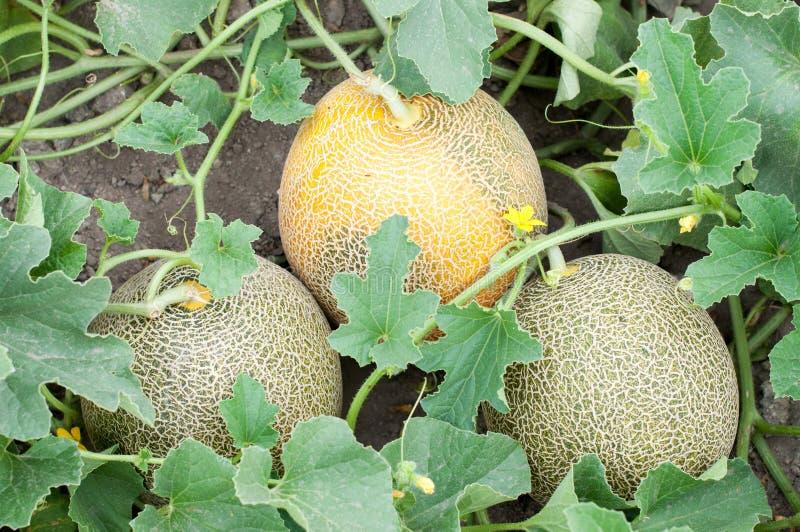 Tre melon och växt fotografering för bildbyråer