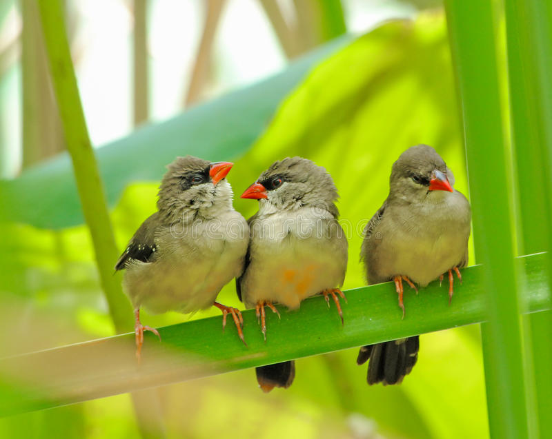 Tre mer unga fåglar arkivbild