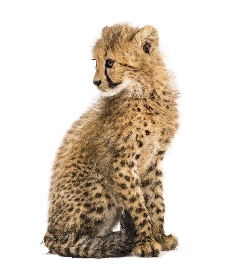 Tre mesi del ghepardo di seduta del cucciolo, isolata immagini stock