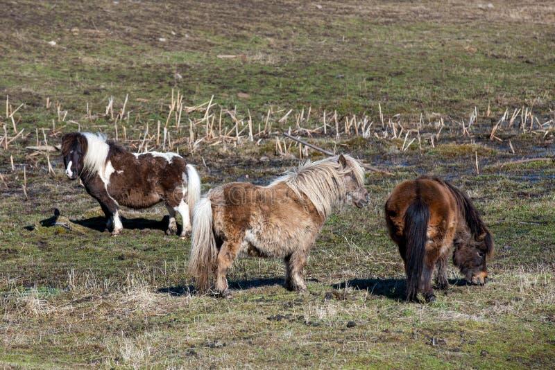 Tre miniatyrhästar i fältet arkivfoto
