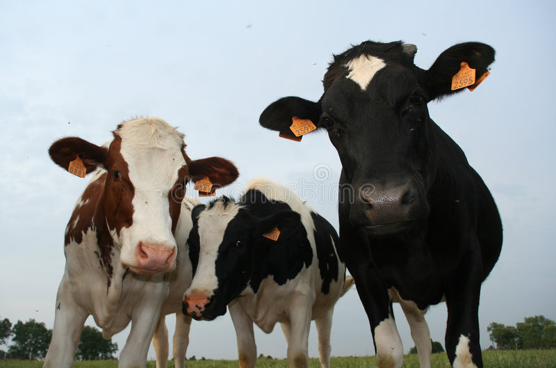 Tre mucche fotografie stock