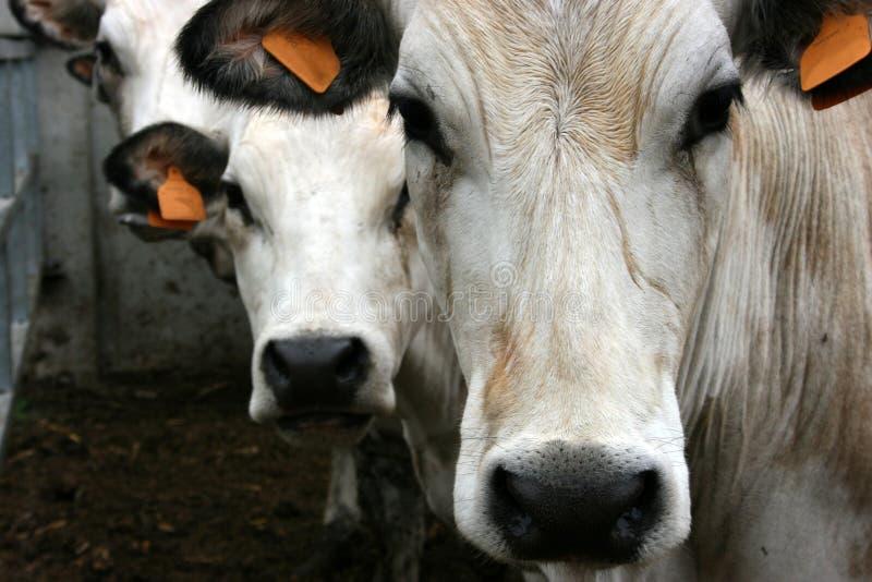 Tre mucche fotografia stock