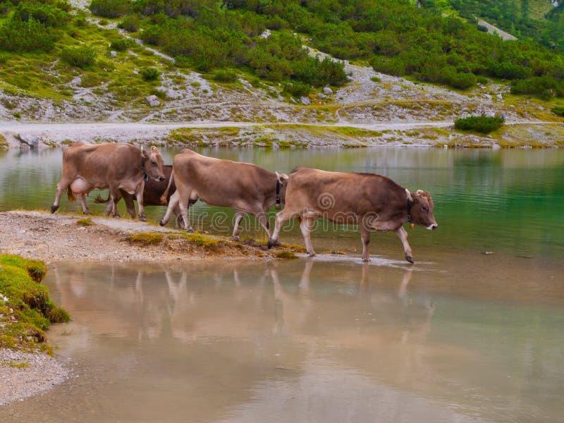 Download Tre Mucche Alpine Che Stanno Nel Lago Immagine Stock - Immagine di latte, erba: 56891875