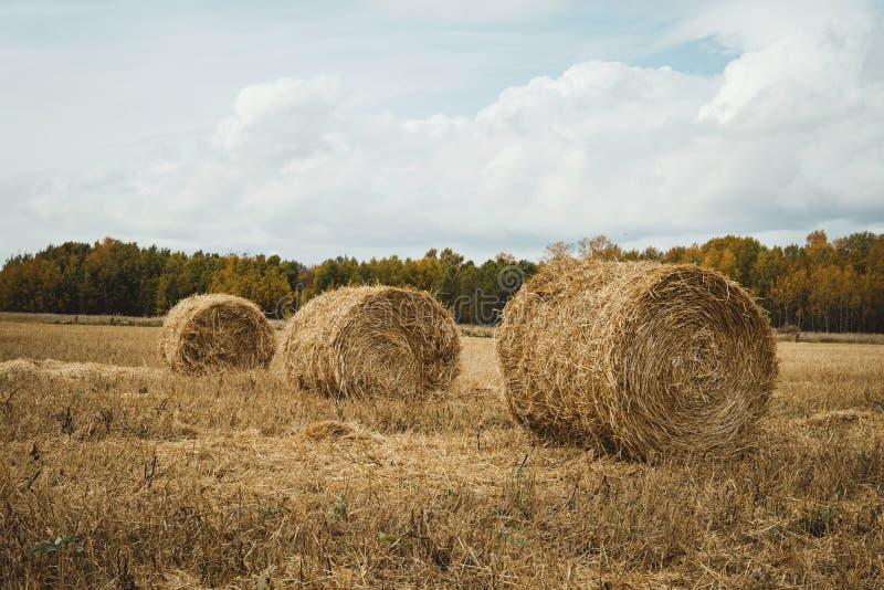 Tre mucchi di fieno sul campo del raccolto del grano contro cielo blu nuvoloso drammatico Raccolto dorato giallo del grano di est fotografie stock