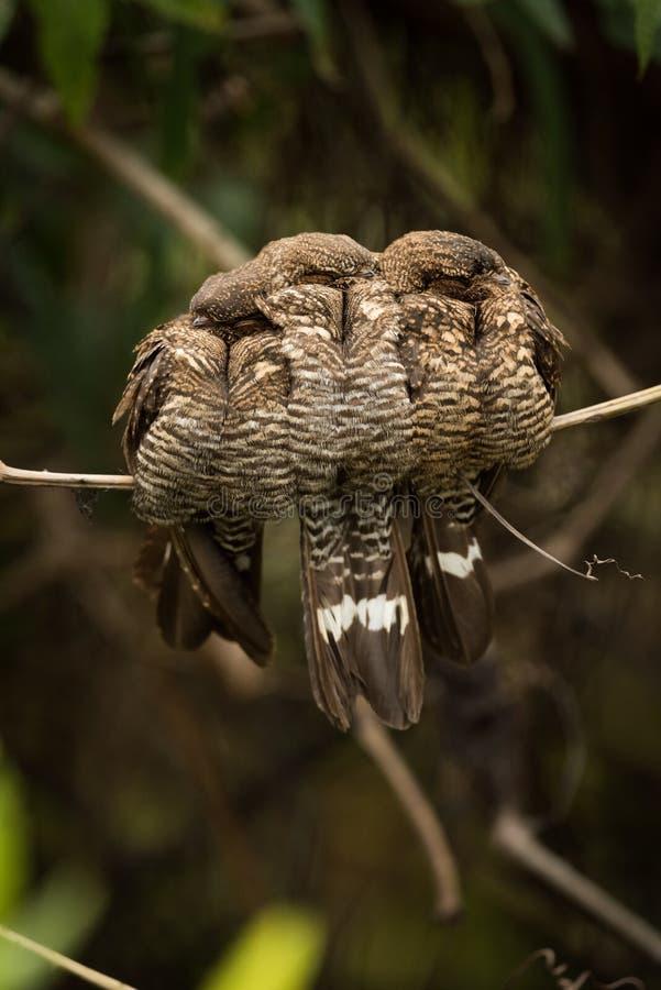 Tre musikband-tailed nightjars som tillsammans pressar på filial royaltyfri fotografi