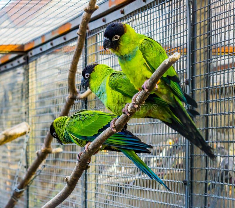 Tre Nanday conures som tillsammans sitter på en filial i aviariet, populära husdjur i aviculture, tropiska små papegojor från Ame arkivfoto