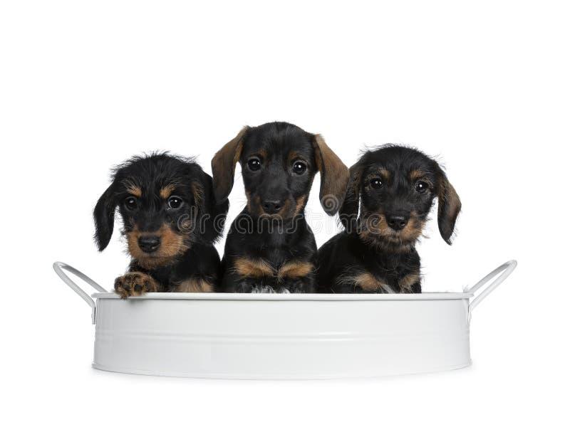 Tre neri con i mini cuccioli del cane del bassotto tedesco del wirehair adorabile marrone, isolati su fondo bianco immagine stock libera da diritti