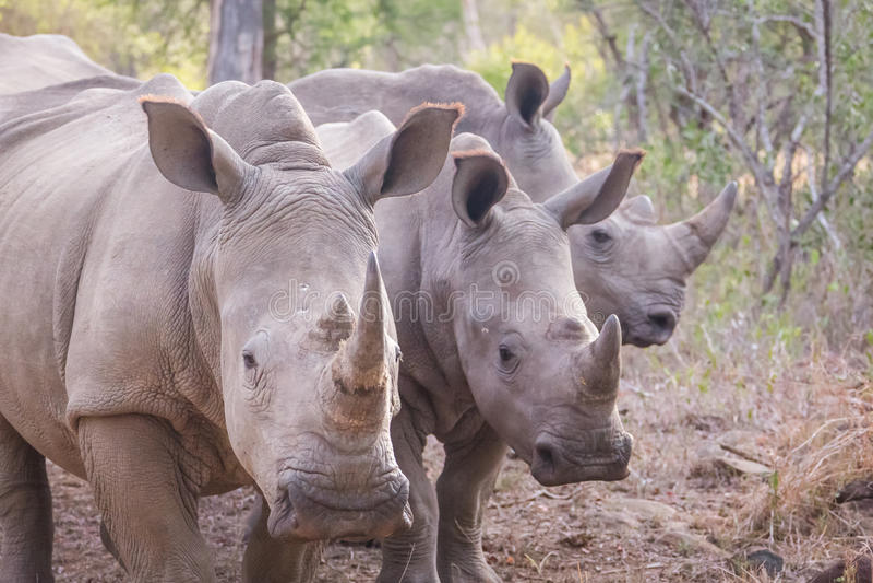 Tre noshörningar royaltyfri bild