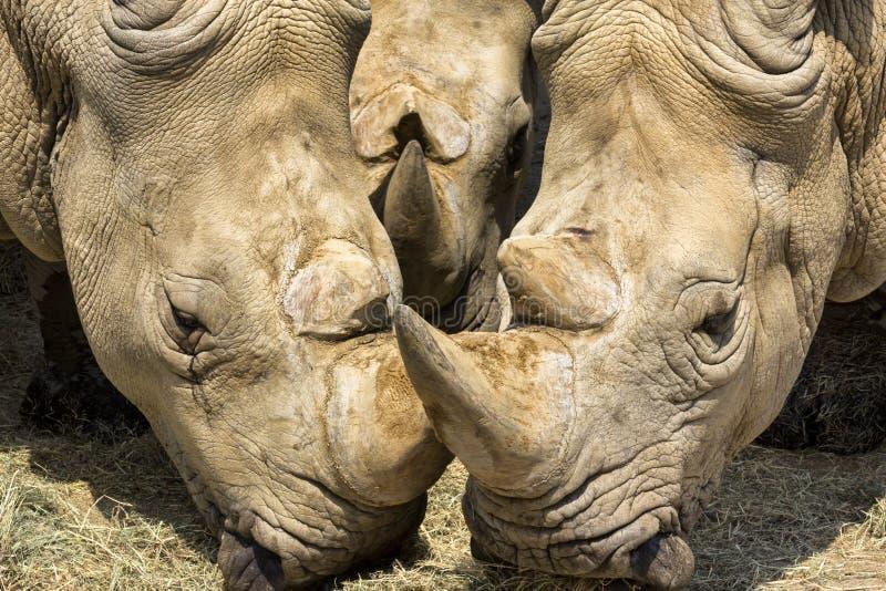Tre noshörningar arkivbild