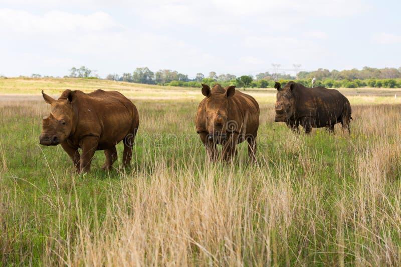 Tre noshörningar i rad royaltyfria foton