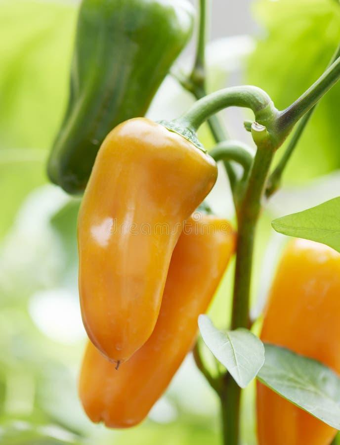 Tre nya orange spanska peppar på en växt royaltyfri foto