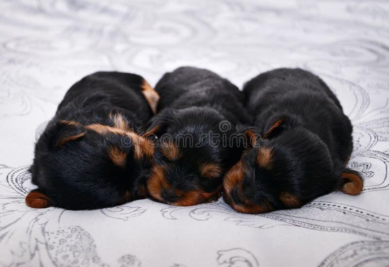 Tre nyfödda valpar för den Yorkshire terriern sover royaltyfri fotografi