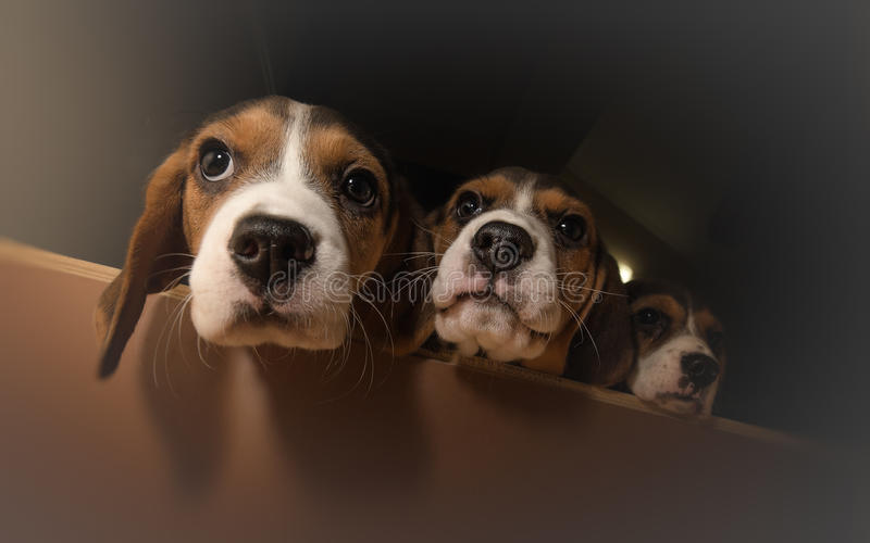 Tre nyfikna beaglevalpar arkivfoton