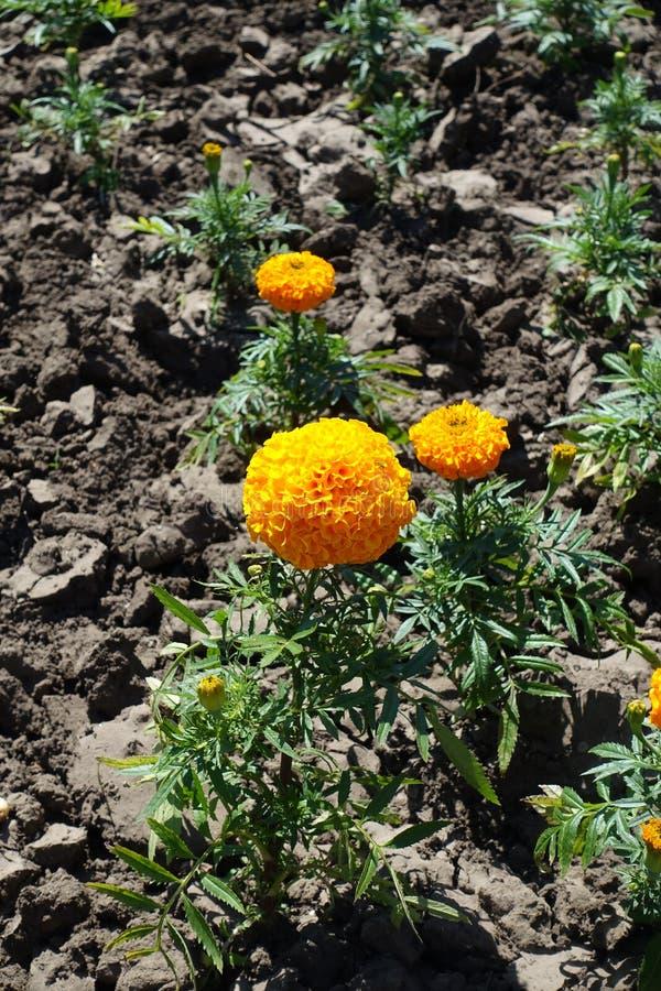 Tre orange blommor av den Tagetes erectaen royaltyfria bilder