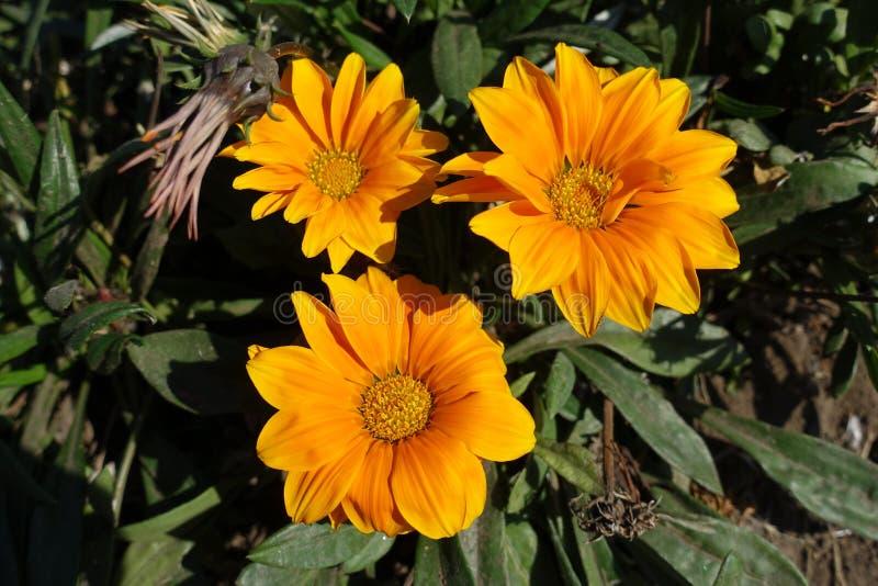 Tre orange blommor av gazaniarigens fotografering för bildbyråer