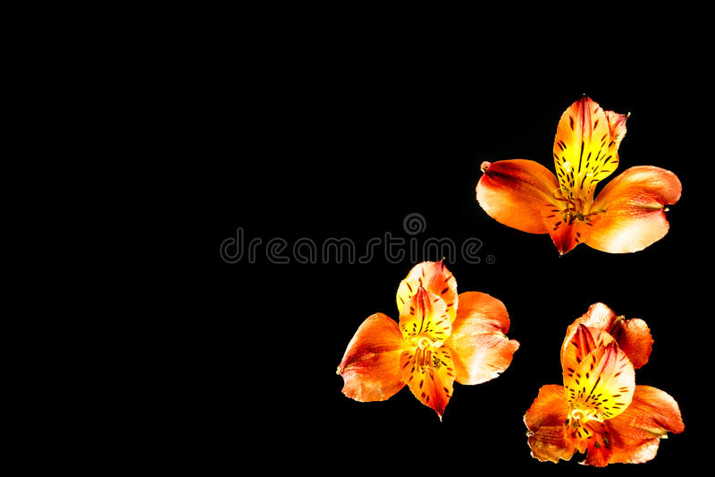 Tre orange blommor med svart bakgrund royaltyfria foton