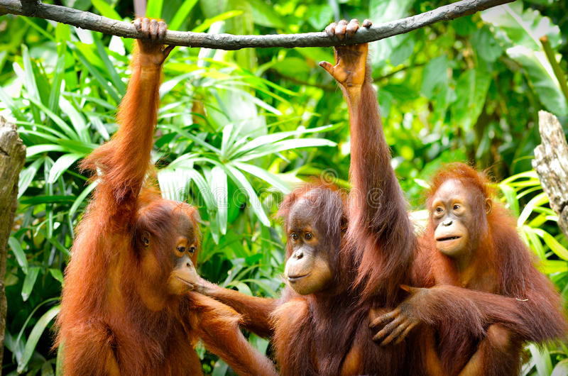 Tre orangutan immagine stock