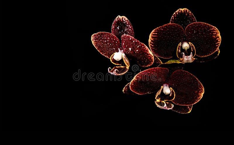 Tre orchidee marrone rossiccio sui precedenti neri con le gocce di acqua su loro fotografie stock