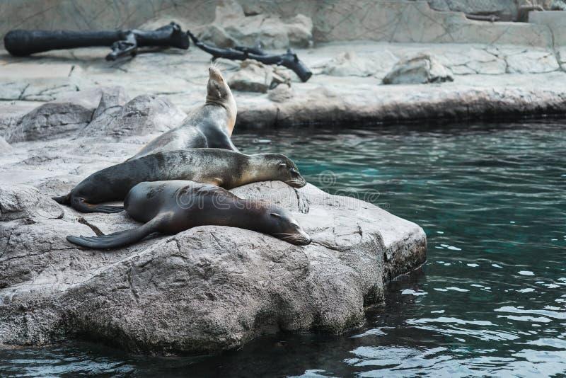 Tre pälsskyddsremsor vilar på stenarna nära vattnet Natur marin arkivfoton