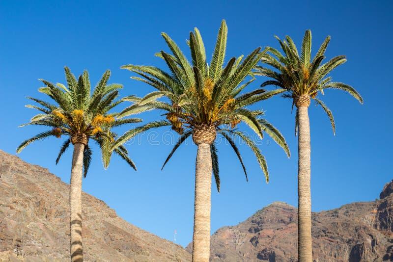 Tre palme con cielo blu e il mountainsin la La Gomera del fondo fotografia stock