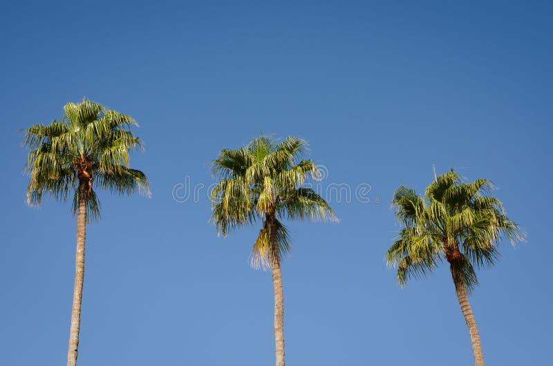 Tre palmträd mot klar middag för blå himmel arkivfoton