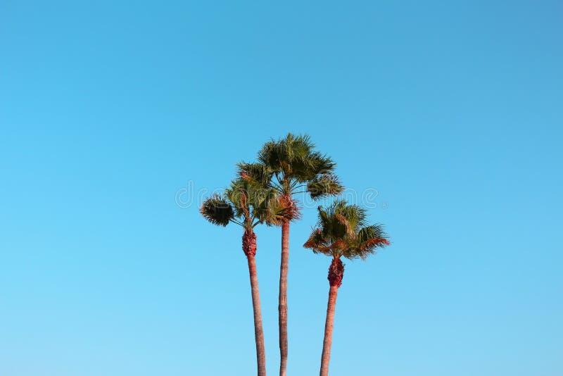Tre palmträd tillsammans och blå himmel bakom royaltyfri fotografi