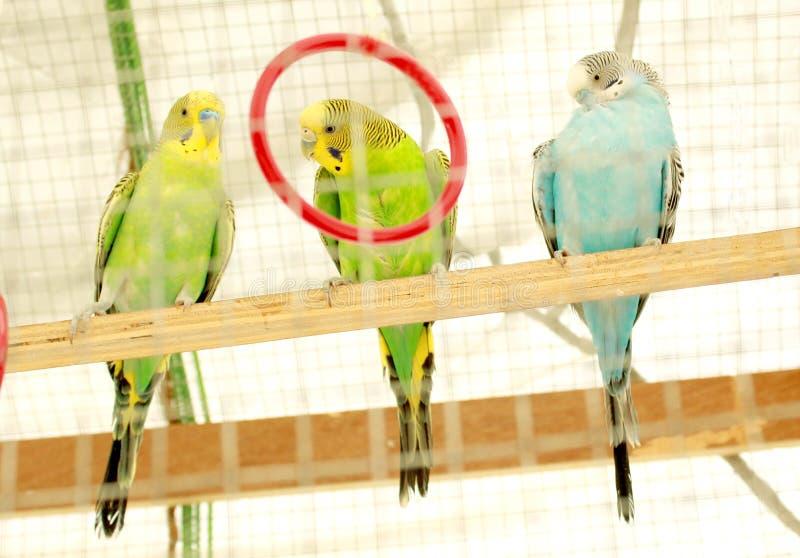Tre papegojor sitter i en bur arkivfoton