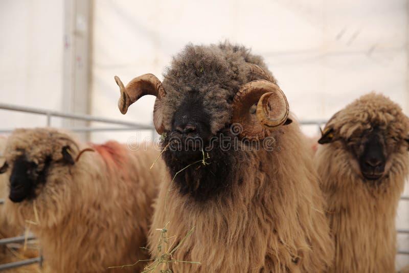 Tre pecore immagini stock libere da diritti