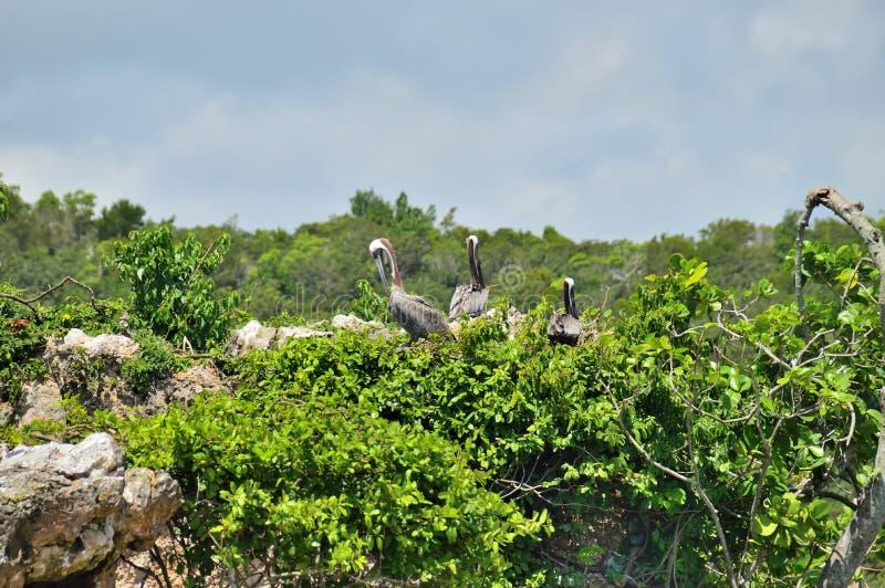 Tre pellicani sulla cima di un albero verde, contro un cielo blu e le nuvole Sosta nazionale di Los Haitises fotografia stock